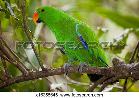 Stock Image of Male Eclectus Parrot Australia Zoo Aviary x16355645.