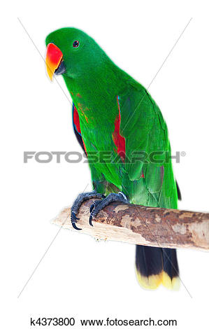 Stock Photography of Male eclectus parrot k4373800.