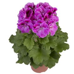 Geraniums, Purple and Garden plants on Pinterest.