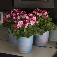 Geraniums, Spring and Spring flowers on Pinterest.