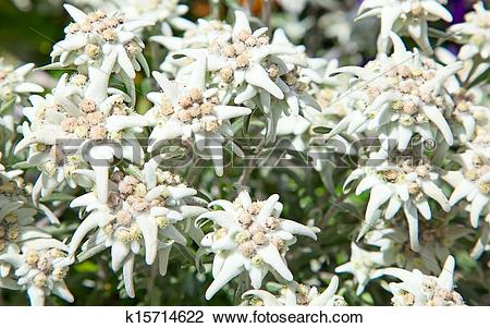 Stock Photo of Edelweiss k15714622.