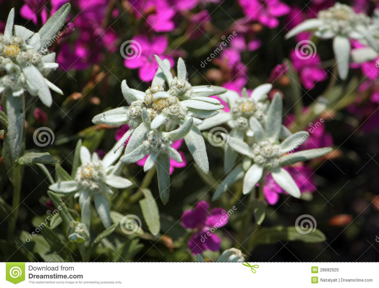 Edelweiss Flower Stock Photo.