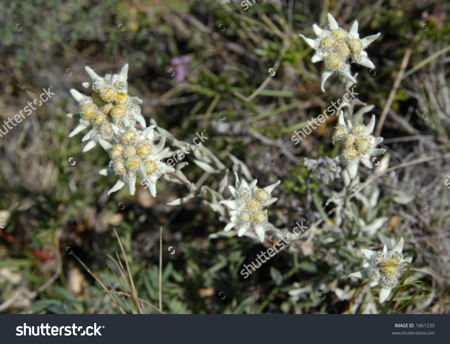 Edelweiss Flower (Guaphalium Leontopodium) On Olkhon Island On.