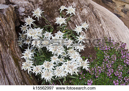 Picture of Edelweiss k15562997.