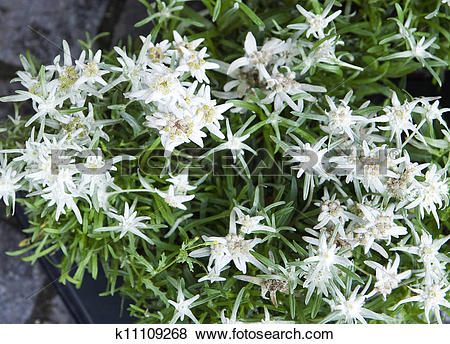 Pictures of edelweiss.