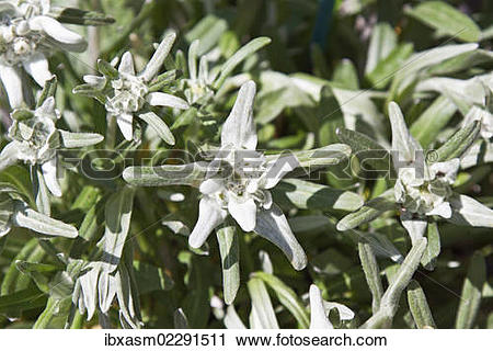 Stock Photography of Edelweiss (Leontopodium nivale.