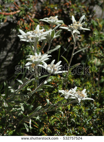 Edelweiss Flower Stock Photos, Royalty.