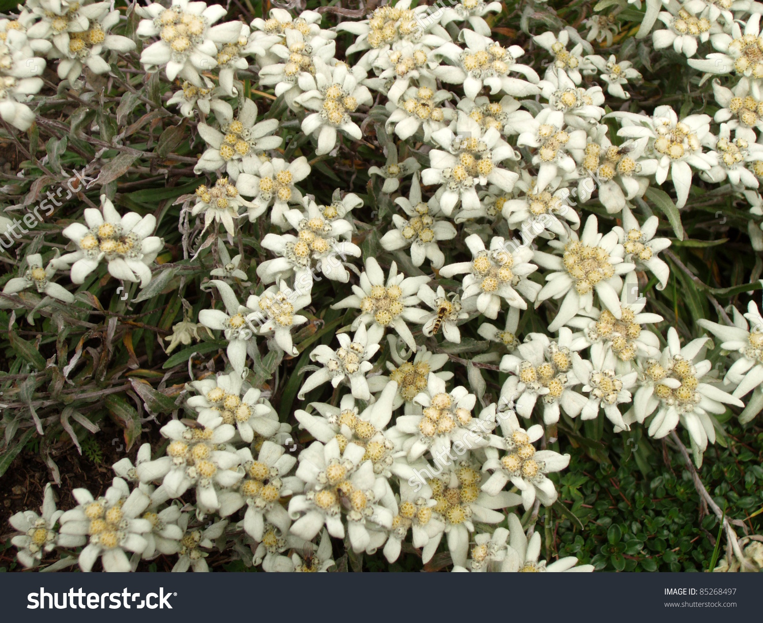 Switzerland Beautiful Alpine Flower Edelweiss Stock Photo 85268497.