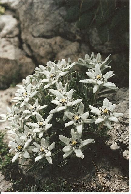 1000+ ideas about Edelweiss on Pinterest.