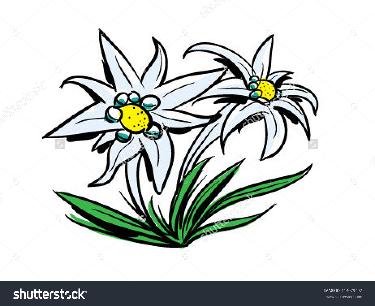 Edelweiss Clipart Clipground