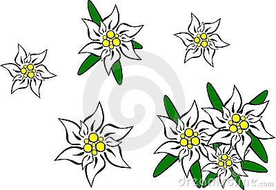 Edelweiss Stock Illustrations.