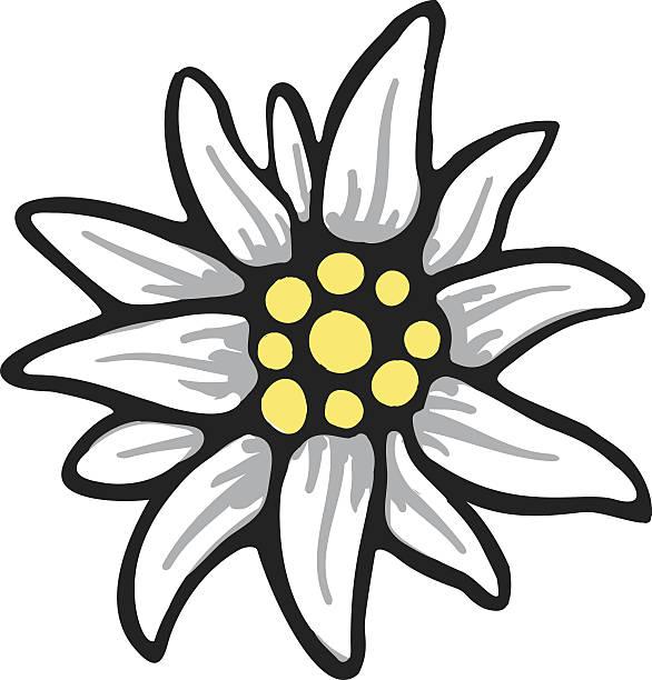 Best Edelweiss Flower Illustrations, Royalty.