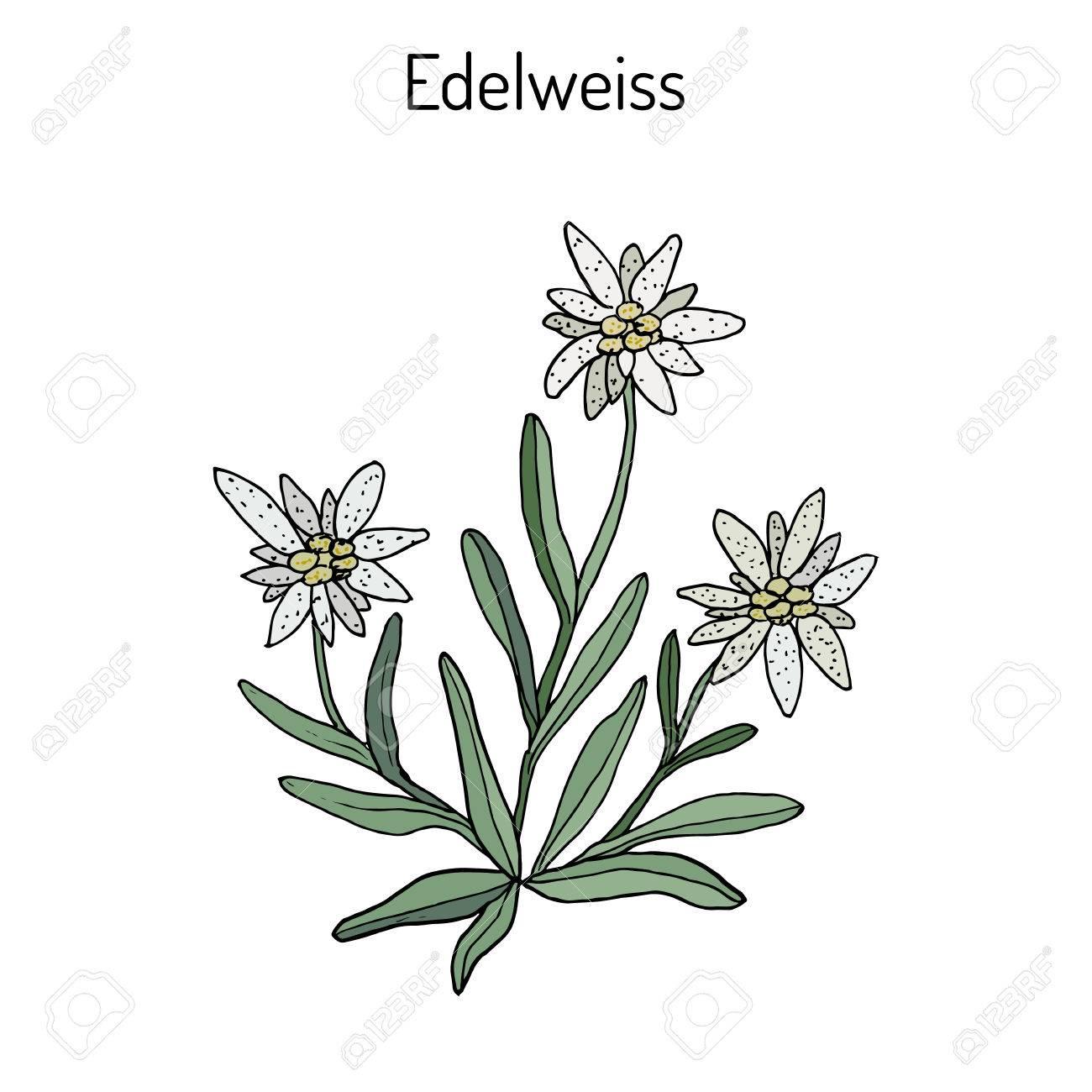 Edelweiss (leontopodium alpinum) flower. Hand drawn botanical...