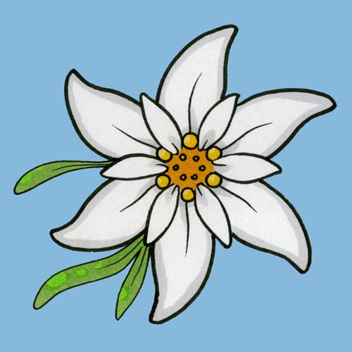 Gallery For > Edelweiss Flower Sketch.