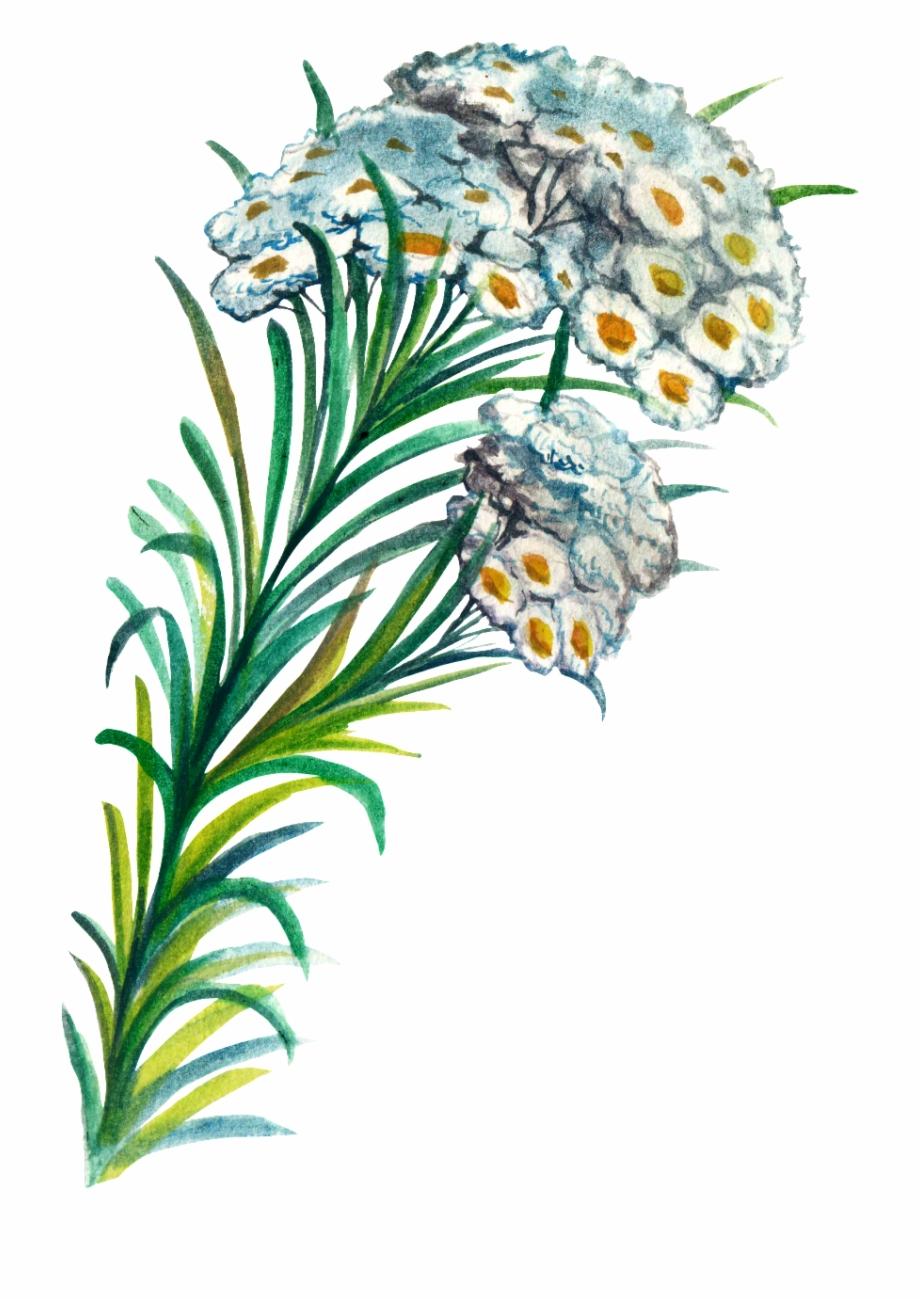 Edelweiss Flower Clip Art.