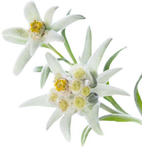 Multi leaf Edelweiss white Picture #48580.