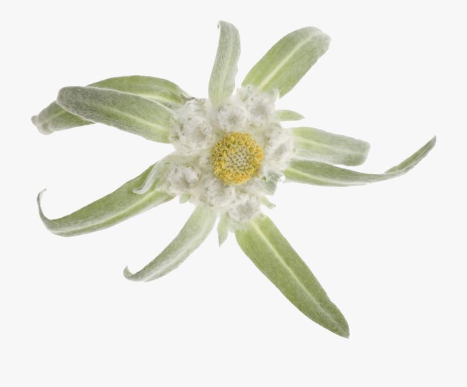 Edelweiss Png.