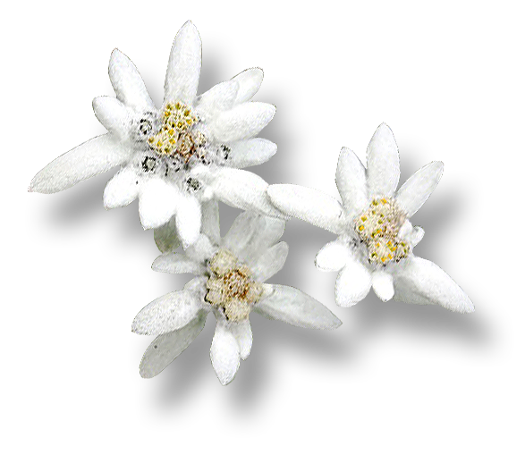 Download Free png Edelweiss PNG, Download PNG image with transparent.