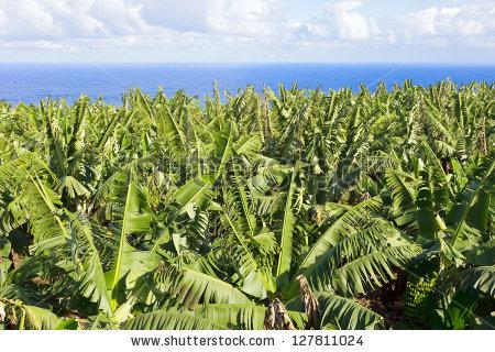 Banana Plantation Stock Photos, Royalty.