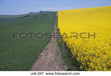 Picture of Edge of Field of Oil Seed Rape Wiltshire UK unb.
