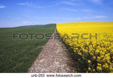 Stock Photo of Edge of Field of Oil Seed Rape Wiltshire UK unb.