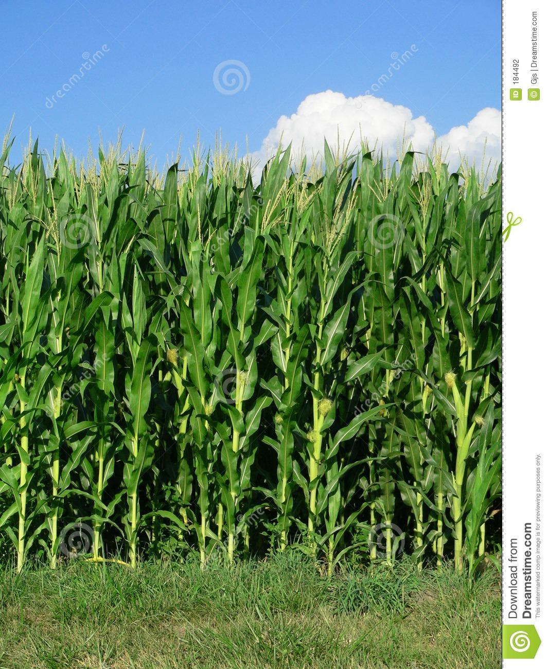 Maize fields clipart #5