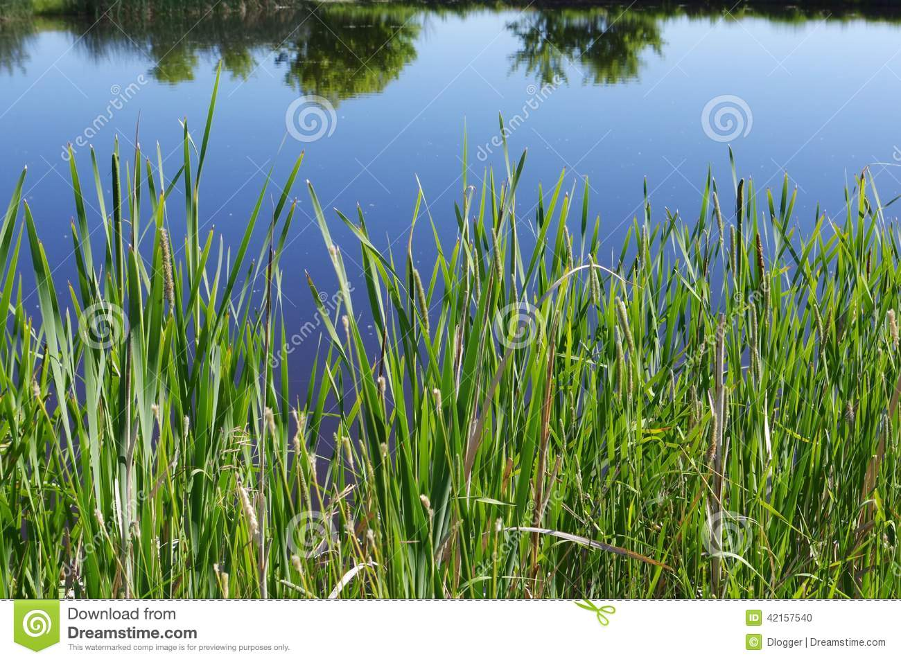 Tall Grass On Edge Of Pond. Stock Photo.