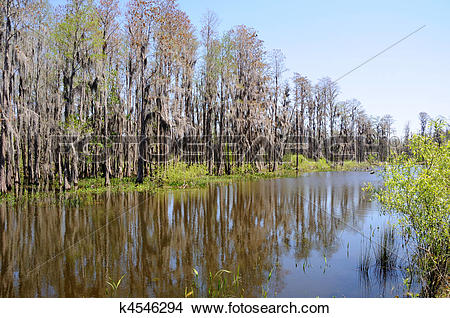 Stock Photo of Cypress Trees Standing on Edge of Florida Pond and.