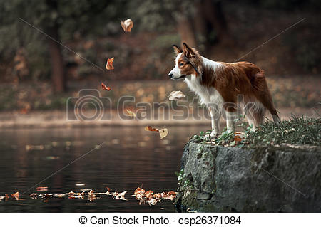 Pictures of young border collie dog standing on the edge of pond.