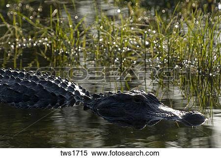 Stock Image of American Alligator soaks up sunlight at edge of.