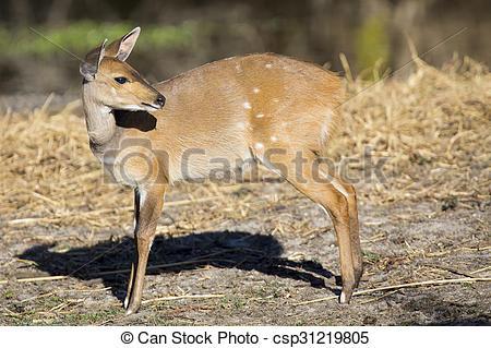 Stock Photography of Bushbuck doe walking along the edge of pond.