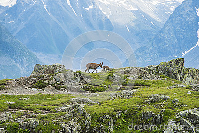 Two Alpine Goats On The Edge Of The Mountain, Mount Bianco, Alps.