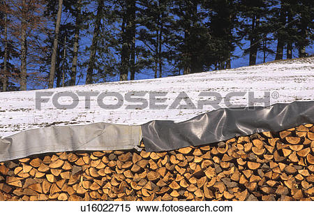 Stock Image of firs, austria, firewood, edge of the woods, calf.