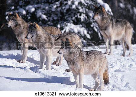 Stock Photography of Wolves (Canis lupus) at edge of snowy woods.