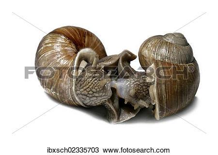 "Stock Photo of ""Burgundy snails, Roman snails, edible snails or."