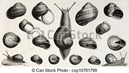 Stock Illustration of Edible snails old illustration (Helix.