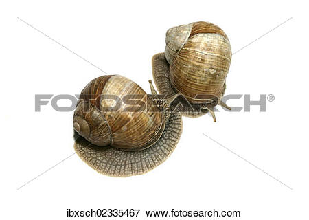 "Picture of ""Two Burgundy snails, Roman snails, edible snails or."