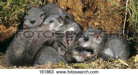 Stock Photo of edible dormouse and cubs.