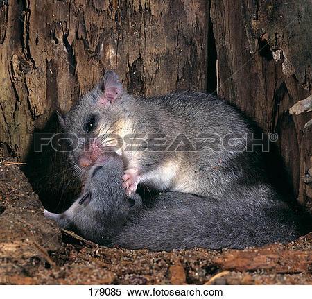 Stock Image of Edible Dormouse, Common Dormouse (Glis glis.