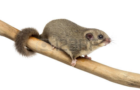 Dormouse Images & Stock Pictures. Royalty Free Dormouse Photos And.