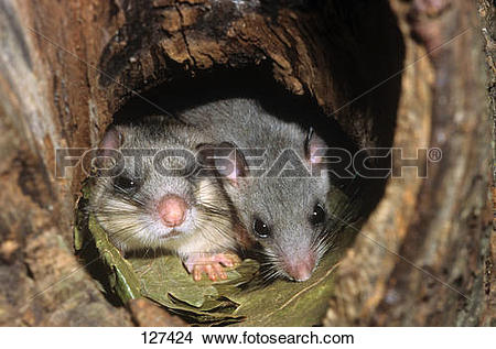 Stock Photo of edible dormouse with cub / Glis glis 127424.