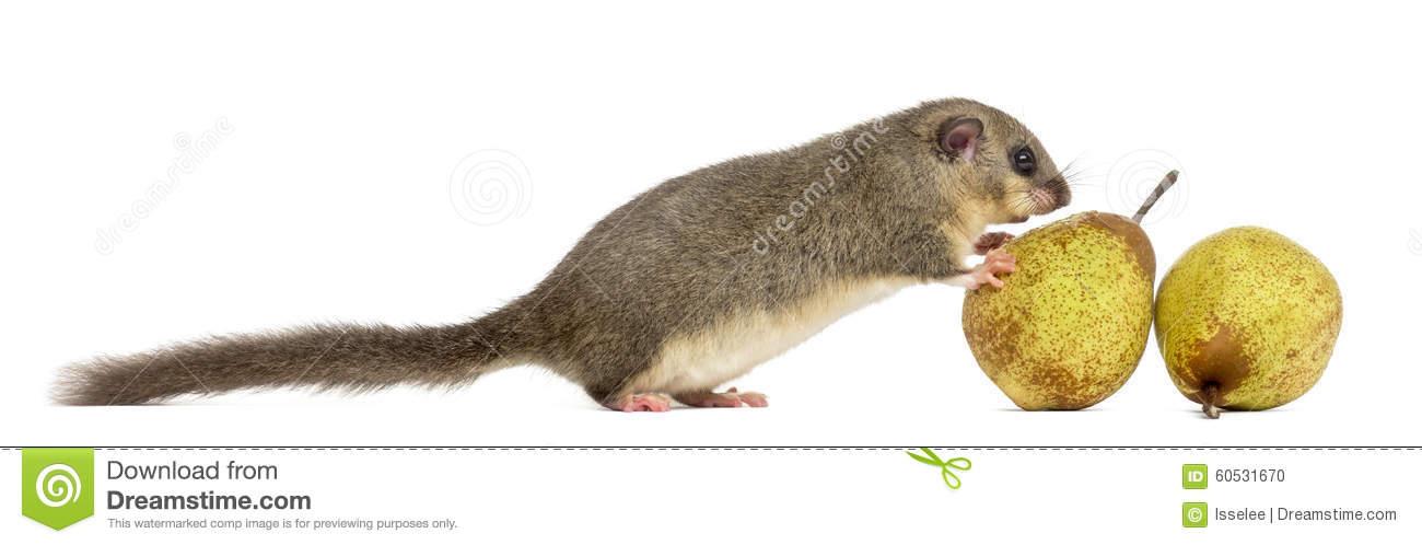 Edible Dormouse Eating A Pear Stock Photo.