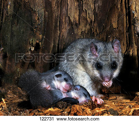 Stock Photography of edible dormouse with cubs Glis glis 122731.