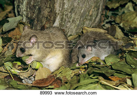 Stock Photo of Edible dormouse and cub.