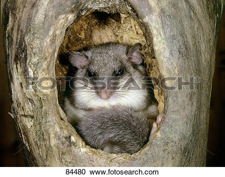 Stock Photography of Edible dormouse in a tree hole / Glis glis.