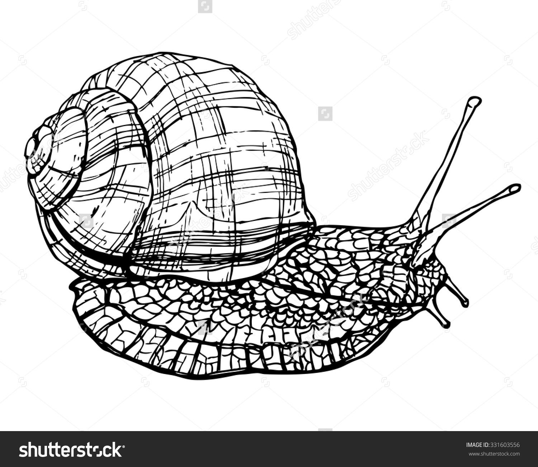 Burgundy Edible Snail Sketch Ink Vector Stock Vector 331603556.