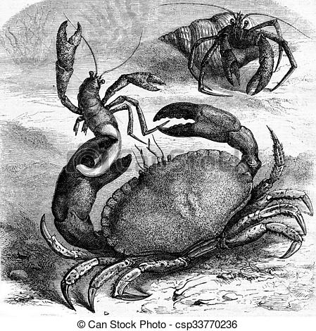 Drawings of Edible crab devouring a corpse Bernard the hermit of.