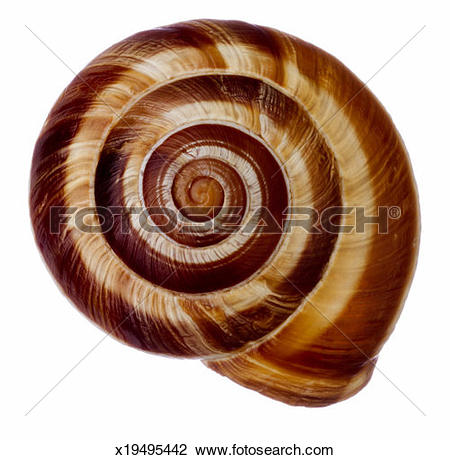 Stock Photo of Edible snail (Helix sp.) x19495442.