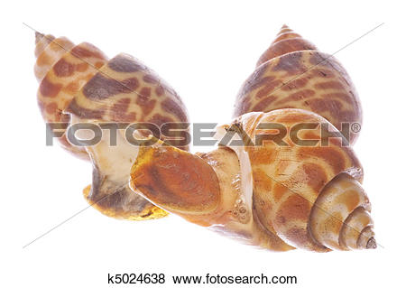Pictures of Live Edible Shellfish Isolated k5024638.