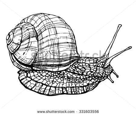 Edible Snail Stock Vectors & Vector Clip Art.